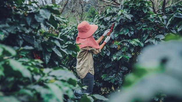 Rolnictwo, kawowy ogródek kawowy z ziarnami kawy, pracownice zbierają dojrzałe czerwone ziarna kawy.