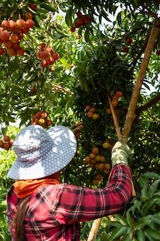 Rolnictwo owoców liczi w tajlandii