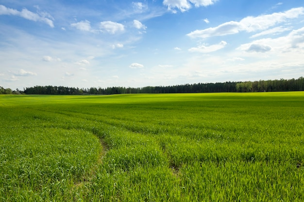 Rolnictwo. płatki. wiosna - pole uprawne, na którym w okresie wiosennym rośnie niedojrzała zielona trawa