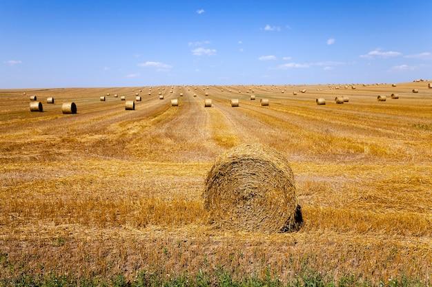 Rolnictwo - pole uprawne, na którym odbywa się zbiór zbóż