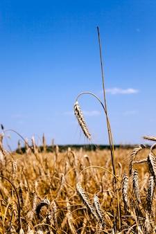 Rolnictwo - pole uprawne, na którym prowadzono zbiory zbóż. lato