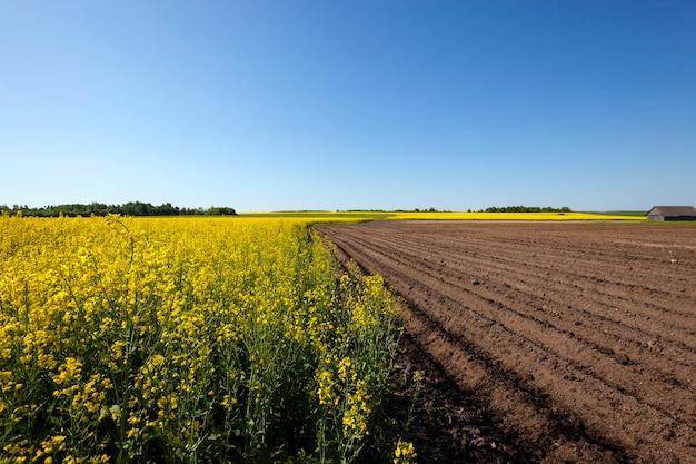 Rolnictwo - pole uprawne, na którym rosną ziemniaki i rzepak. wiosna