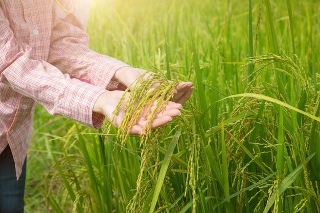 Rolnictwo. ręka kobieta trzyma młodego niełuskanego z zielonym ryżem pola