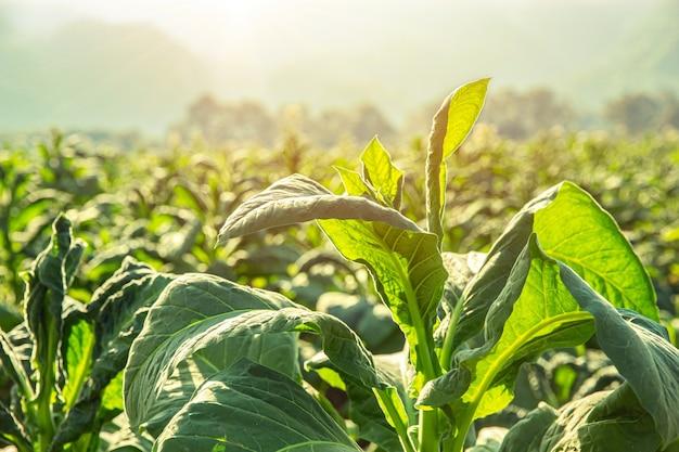 Rolnictwo tytoniu pole roślin z wsi piękne górskie wzgórze tło.
