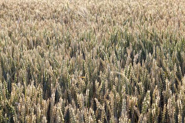 Rolnictwo w regionie, produkcja i uprawa różnych rodzajów zbóż, w tym pszenicy