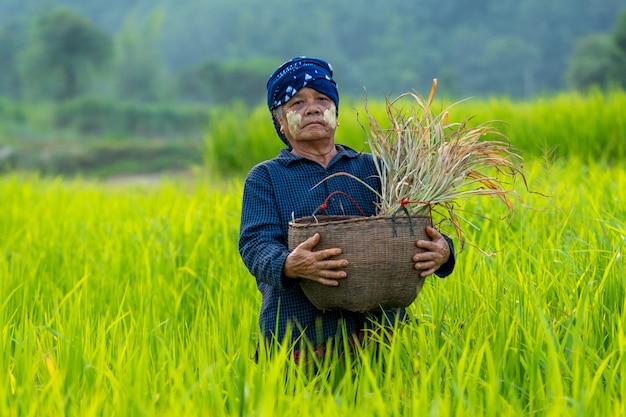 Rolnicy i zielony ryż w myanmarze, lokalna rolnik pracuje na polu ryżowym.