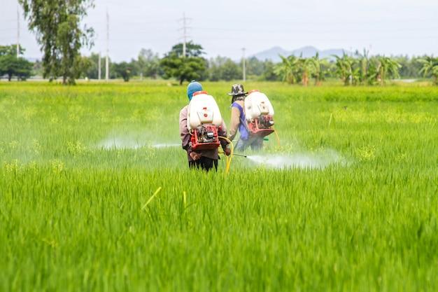 Rolnicy opryskują rośliny na zielonych polach ryżowych