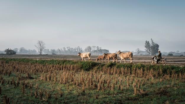 Rolnicy przynoszą krowom jeść trawę na polach ryżowych, a rano na polach ryżowych.