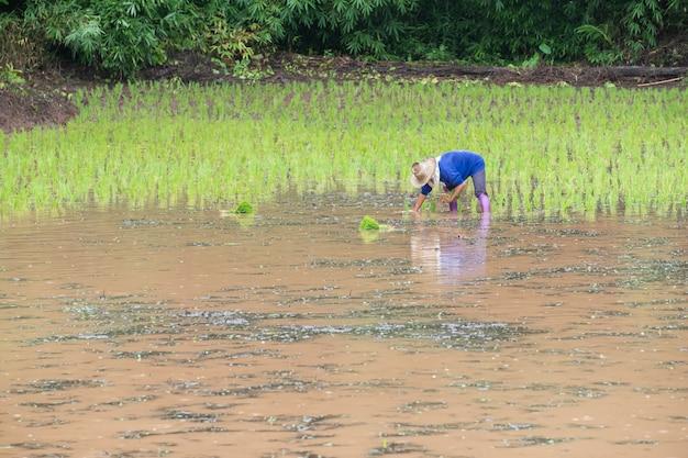 Rolnicy sadzą młody ryż na plantacji z wodą do napełniania i lasem