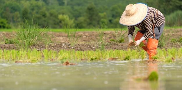 Rolnicy sadzą ryż na farmie, a rolnicy pochylają się, by uprawiać ryż.