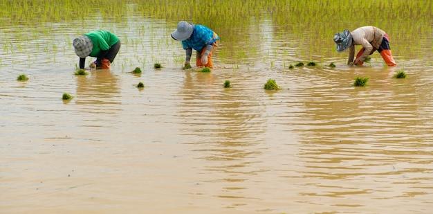 Rolnicy sadzą ryż na farmie, rolnicy pochylają się, aby uprawiać ryż, rolnictwo w azji, uprawa przy użyciu ludzi.