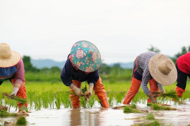 Rolnicy sadzą ryż na farmie. rolnicy pochylają się, by uprawiać ryż. rolnictwo w azji. uprawa z wykorzystaniem ludzi.