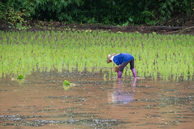 Rolnicy sadzący młodego ryżu na plantacji z wodą do napełniania