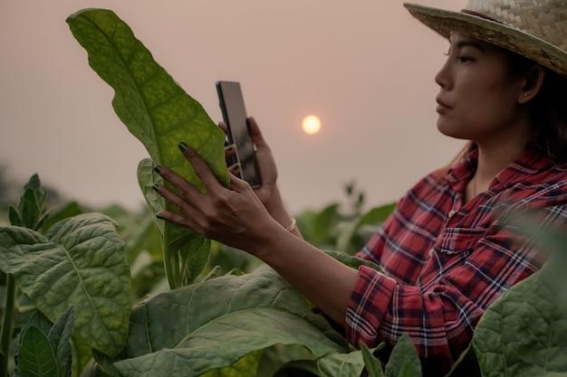 Rolnicy, sadzenie, tytoń, używają laptopa, sprawdzają jakość liści tytoniu, koncepcje technologiczne