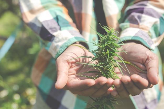 Rolnicy trzymają drzewa marihuany (marihuany) w swoich gospodarstwach.
