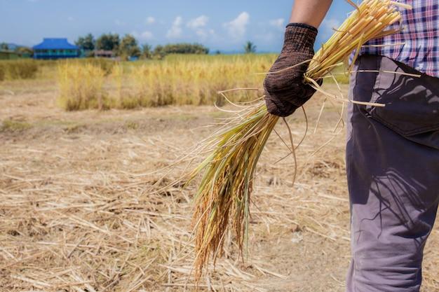 Rolnicy trzymają ziarna na polach.