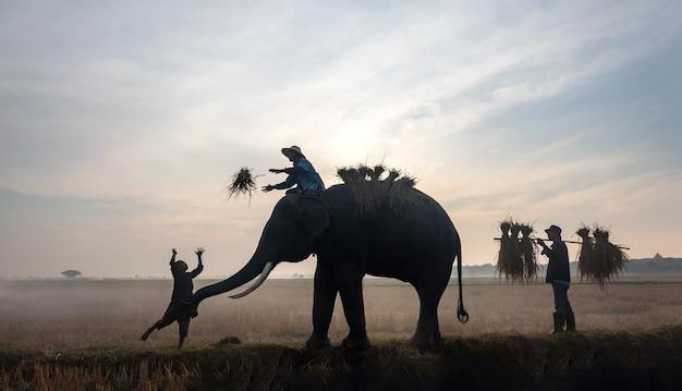 Rolnicy w tajlandii. tajlandia wieś; słoń sylwetka na tle zachodu słońca, słoń tajski w tajlandii surin.