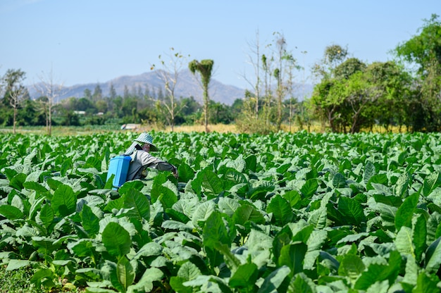 Rolnicy wstrzykują rośliny tytoniu na polu tytoniowym. piękne pole drzewa tytoniu.