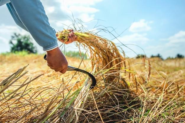 Rolnicy zbierają ryż na polach. koncepcja rolnictwa