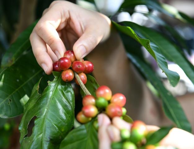 Rolnicy zbierają ziarna kawy.
