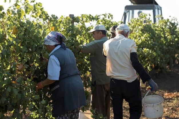 Rolnicy zbierający winogrona z winnicy zbiory jesienne