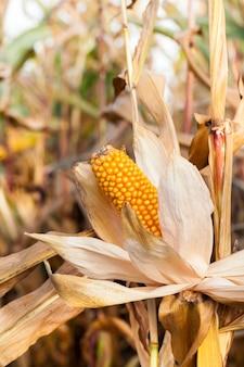 Rolnicze pole na którym rośnie gotowa do zbioru dojrzała żółta kukurydza na kolbę i jej. sezon jesienny.