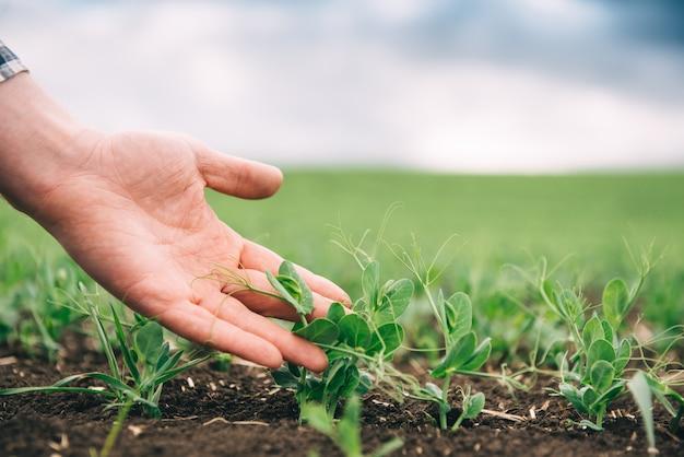 Rolnik bada rozwój grochu warzywnego. rolnik dba o zielony groszek na polu. pojęcie rolnictwa