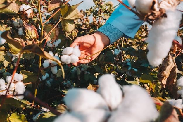 Rolnik bierze bawełnę z gałęzi.
