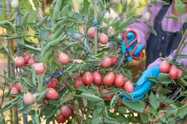 Rolnik do zbioru czerwonych pomidorów w ogrodzie kuchni przez cięcie.