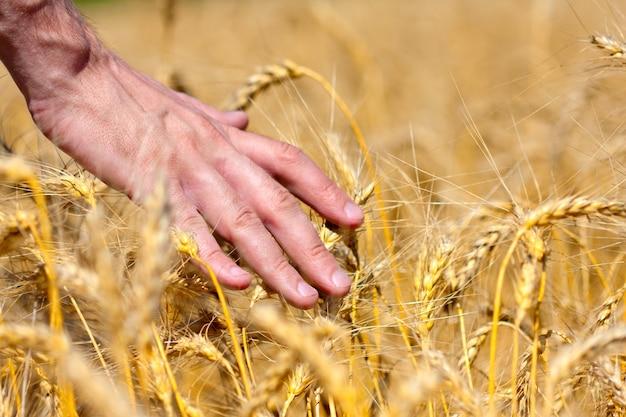 Rolnik dotyka kłosów pszenicy