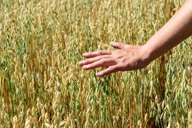Rolnik dotyka kłosów żyta