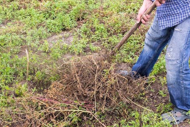 Rolnik grabiami usuwa suche szypułki ziemniaków przed wykopaniem ich z ziemi, praca w ogrodzie letnim jesiennym