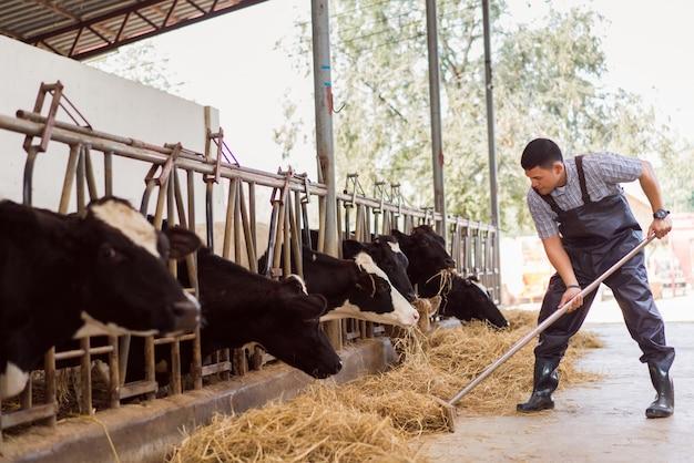 Rolnik karmi krowy. krowa je trawy