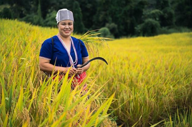 Rolnik kobiety zbiory ryżu w północnej tajlandii