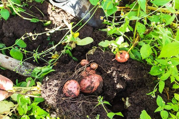 Rolnik kopiący ziemniaki w ogrodzie. zbierz ekologiczne ziemniaki.