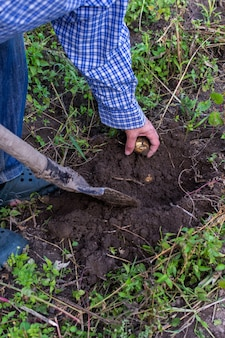 Rolnik kopie młode żółte ziemniaki
