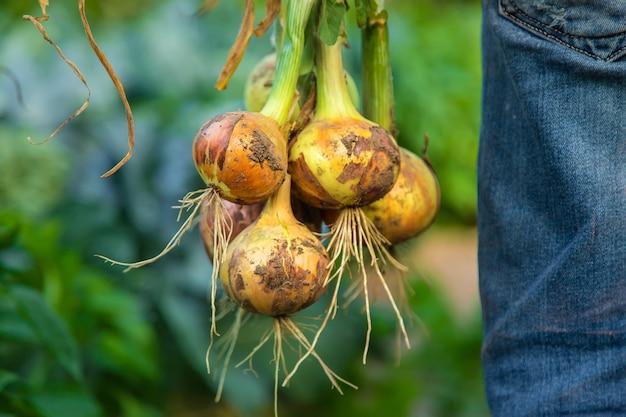 Rolnik mężczyzna trzyma cebulę w ogrodzie. selektywne skupienie.