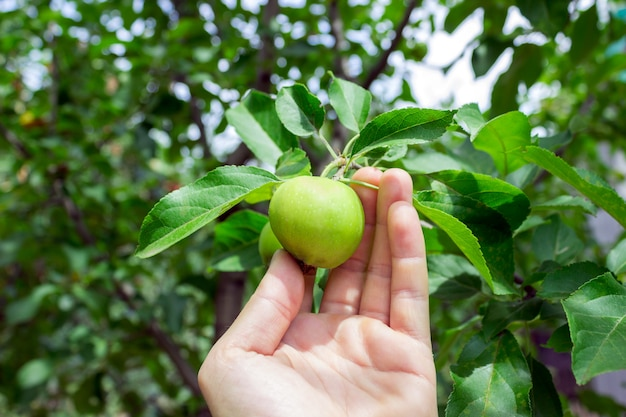 Rolnik mężczyzna trzyma jabłko. ogrodnik ręka zbiera zielone jabłko.