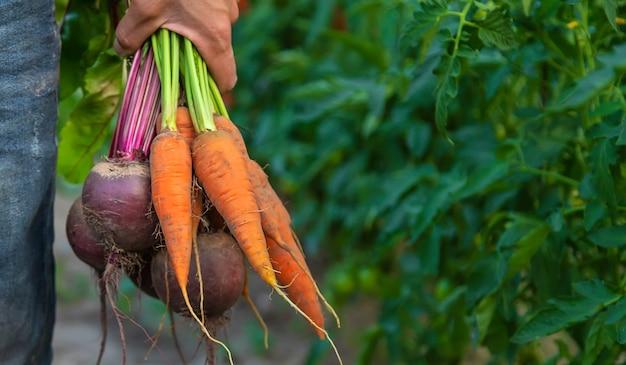 Rolnik mężczyzna trzyma w rękach marchew i buraki. selektywne skupienie.