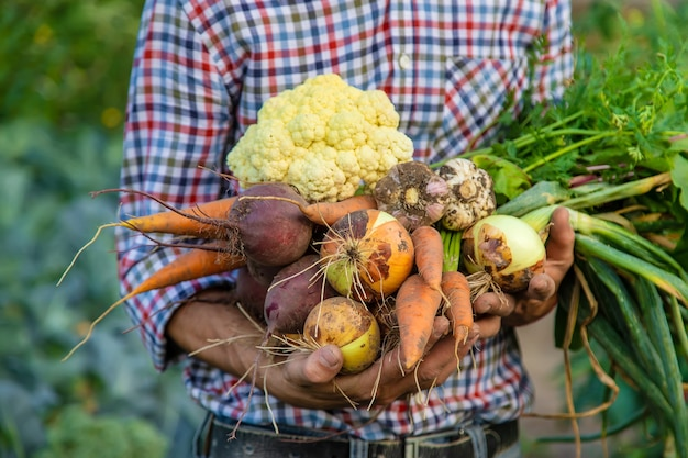Rolnik mężczyzna trzyma warzywa w ręku w ogrodzie. selektywne skupienie. żywność.