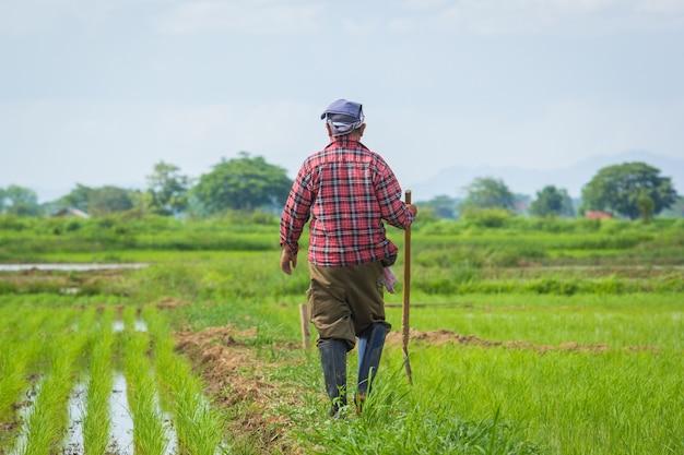 Rolnik na pola uprawne ryżu niełuskanego