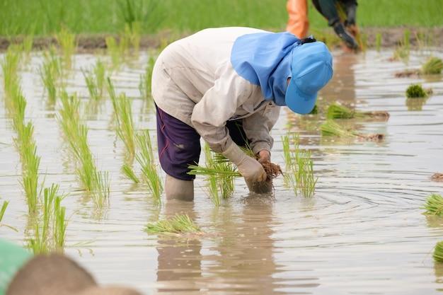 Rolnik na sobie niebieski kapelusz sadzenia ryżu na polu ryżowym