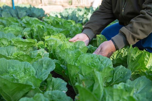 Rolnik nawadniania pola kapusty w ogrodzie warzywnym