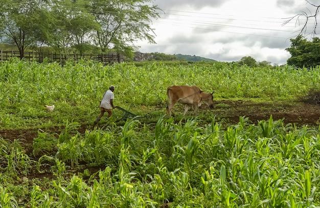 Rolnik orka ziemię pługiem ciągnionym przez zwierzęta w juarez tavora paraiba brazylia sadzenie kukurydzy