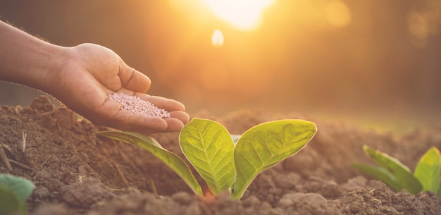 Rolnik podający nawóz młodym roślinom tytoniu
