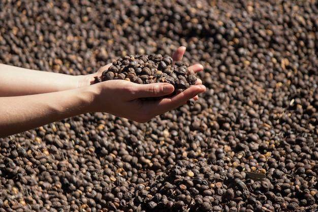 Rolnik posiadający suszone ziarna kawy