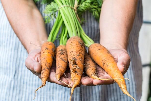 Rolnik posiadający świeże marchewki warzywa zbiorów