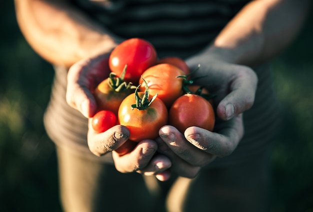 Rolnik posiadający świeże pomidory o zachodzie słońca. żywność, warzywa, rolnictwo