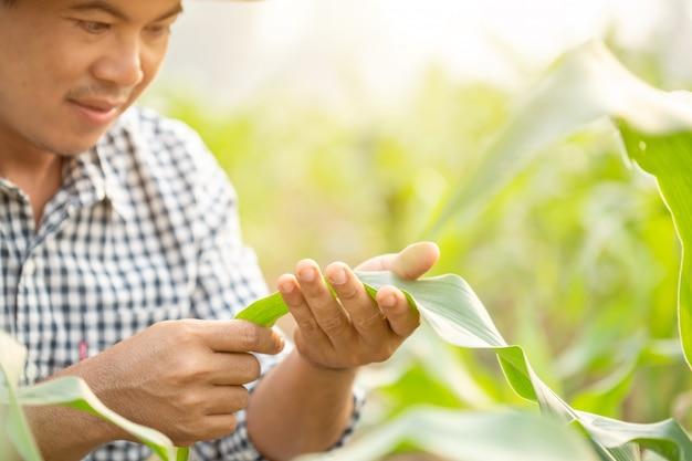 Rolnik pracujący w polu kukurydzy i badający lub sprawdzający problem dotyczący mszycy lub robaka jedzącego liść kukurydzy po posadzeniu