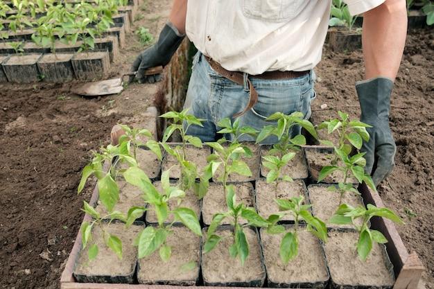 Rolnik przygotowuje się do sadzenia sadzonek papryki